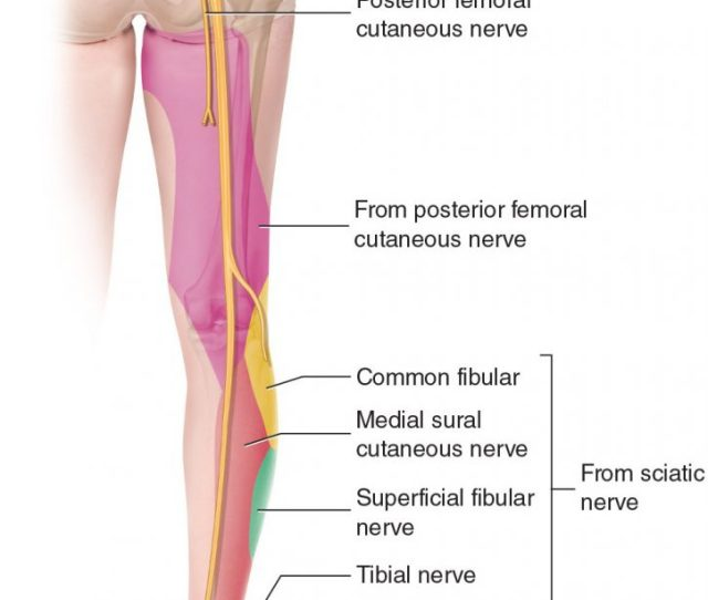 Sciatica Causes Referral Into The Lower Extremity