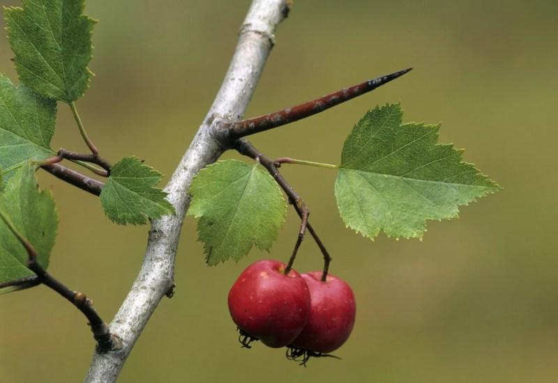 Berry aubépine
