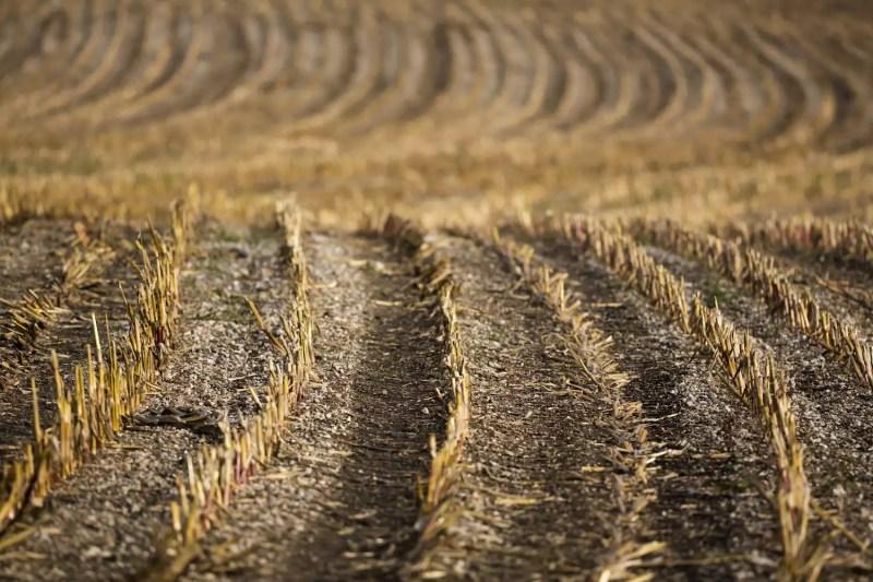 Champ de maïs vide à la fin de la récolte