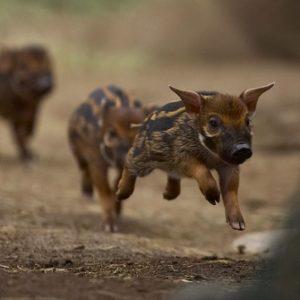 """Résultat de recherche d'images pour """"cochon noir d'ardèche"""""""