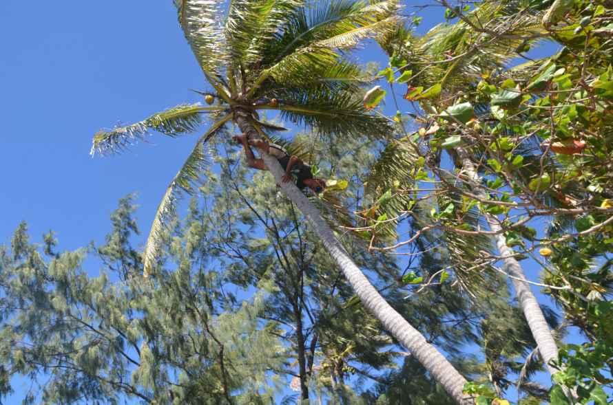 Noix de cocos Yasawas fidji