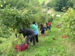 lavoro nero sommerso - uva - vitigno