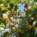 Apfel, der geniale Allrounder