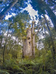 Waipoua forest- northland