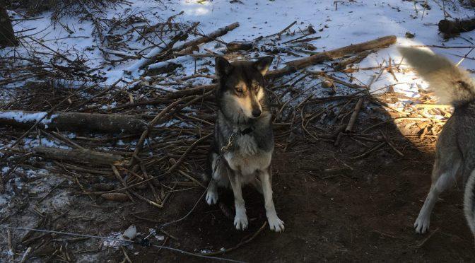 À vendre husky lof de 2,5 ans