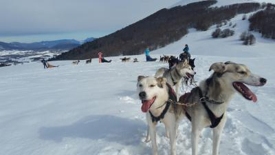 Chiots Alaskan Husky à réserver