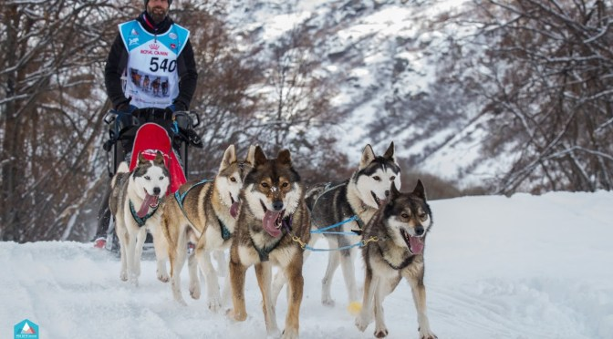 Chiots de race husky LOF lignée course mi distance à vendre