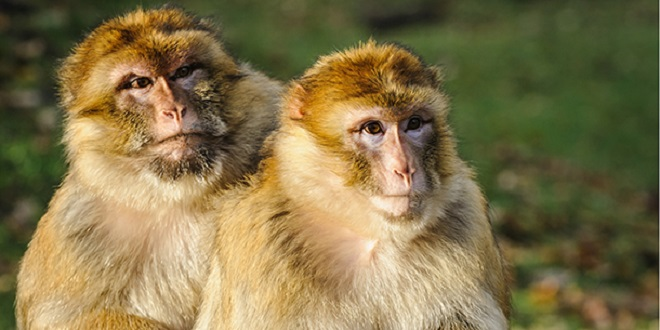 Protection des singes magots : Les Eaux et forêts s'allient à l'IFAW