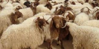 aid el idha-moutons-