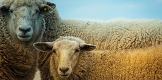 Mouton Fête du sacrifice