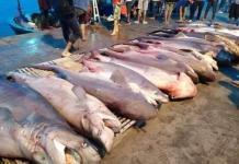 wwf-requins-raies-