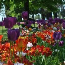 sigurtà tulipani