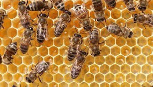 mortalitatea albinelor din cauza fungicidelor