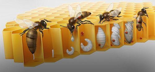 varroa si efectele nocive asupra albinelor