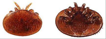 femela varroa