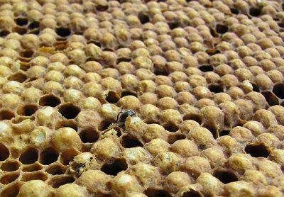 trantorii care acumuleaza varroa