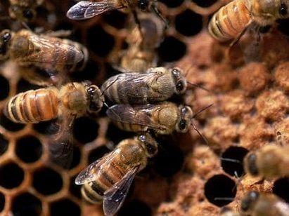 inlocuirea albinelor de iarna