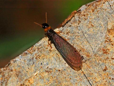 Drywood Termite Treatment Ledford S Pest Control