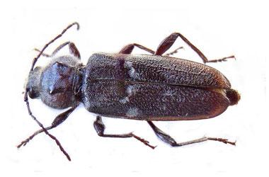Old House Borer Beetle