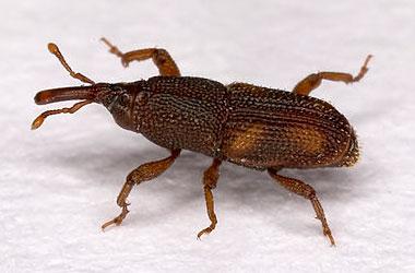 Pantry Beetle