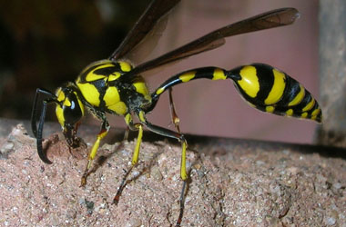 Mud Dauber Wasps