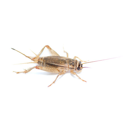 Cricket Pest Control