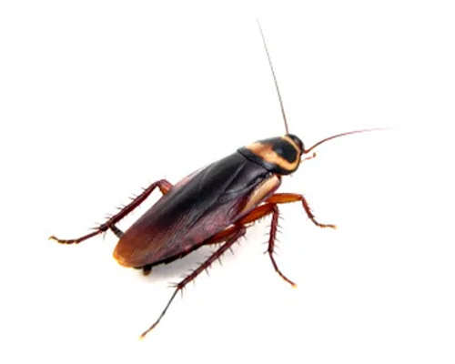 Service Area Residential Pest - Cockroaches