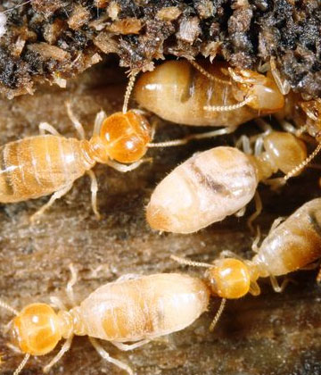 Expert Residential Termite Treatment Services