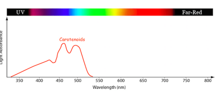 Line graph showing the relative amount of light absorption for the Carotenoid family of photosynthetic pigments at different light wavelengths