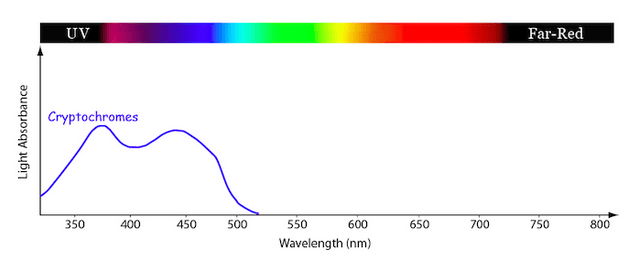 Line graph showing the relative amounts of light absorption at different light wavelengths of the photosynthetic pigment family known as the Cryptochromes