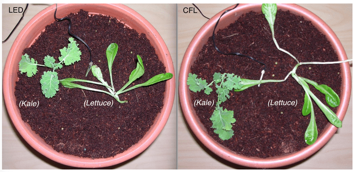 Image showing Lettuce and Kale growth under LED versus CFL grow lighting on day 0 (i.e. when seedlings were repotted in larger pots)