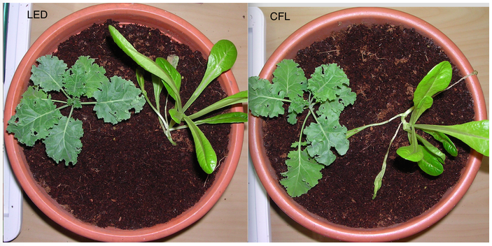 Image showing Lettuce and Kale growth under LED versus CFL grow lighting on day 12