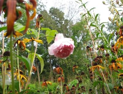Bibi Maizoon rose