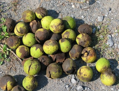 Black walnuts in husks