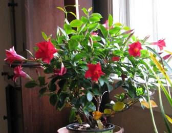 Crimson Mandevilla