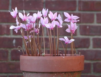 Hardy cyclamen in pot