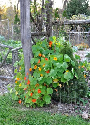 Nasturtiums on post