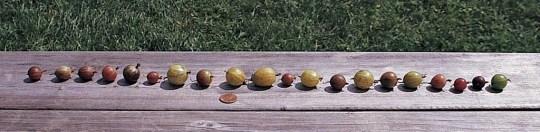 Gooseberry varieties on bench