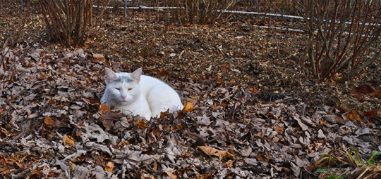 Vaccinium mulch with cat
