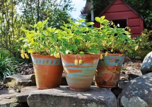 Potted alpine strawberries