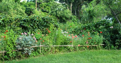 Fenced in red poppies in front of espaliered pears