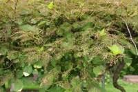 Kiwi foliage made lacy by Japanese beetles