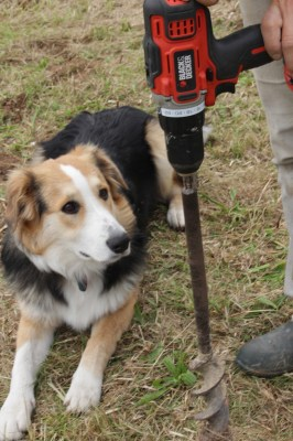 Sammy the Dog inspects the powerful B&D drill and bulb auger.