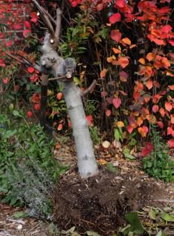 Digging up Kadota fig