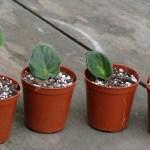 New leaf cuttings