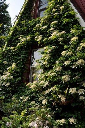 Climbing hydrangea in summer