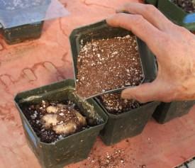 Planting ginger rhizome