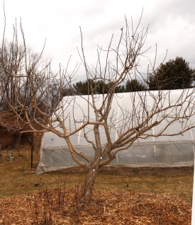 Medlar tree, after pruning