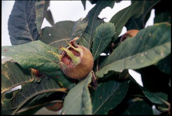 Medlar, fruit in summer