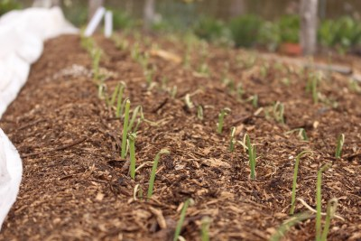 Onions, planted